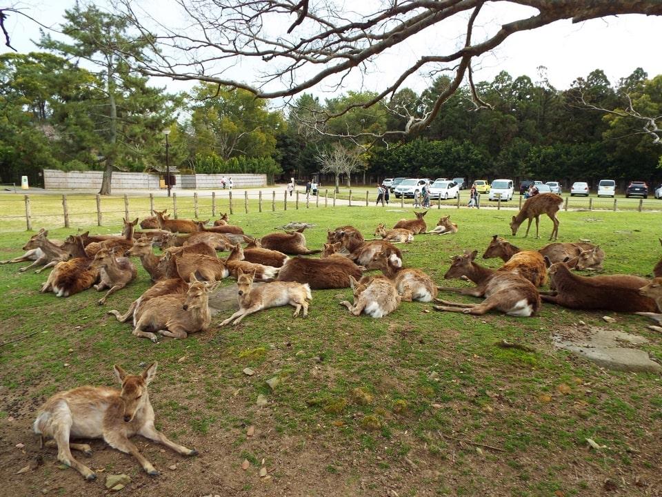 Nara – Une balade au milieu des cerfs