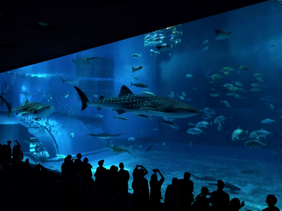 Okinawa – Ocean Expo Park : Churaumi Aquarium